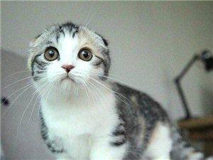 苏格兰折耳猫出售外表甜美 萌萌哒专业繁殖包活