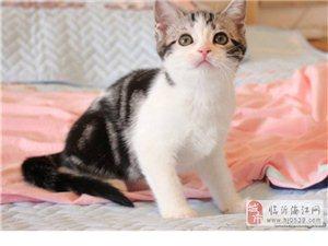 美短美国短毛宠物猫活体宠物猫虎斑美短猫咪加白起司猫