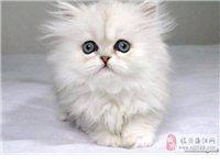 纯种波斯猫出售完美品质可签双份协议