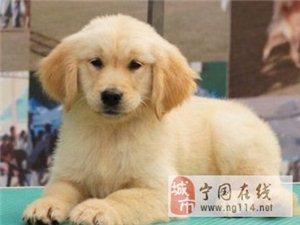 出售金毛幼犬品相完美血统纯正健康