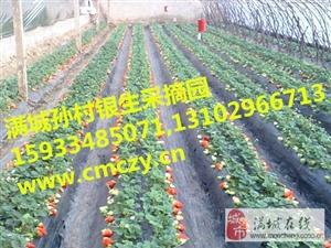 保定极速快三预测孙村银生亲子草莓采摘园,营养丰富,价格公道