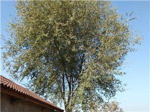 15年以上的大槐樹,離自家房子太近所以想把它出售掉