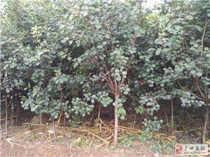 出售大量红栌、黄栌、榆叶梅、樱桃、法桐,桃树树苗