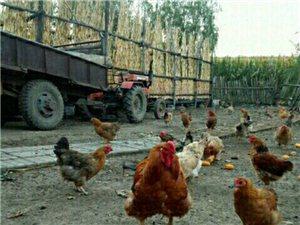 宾县三宝乡出售老母鸡、大公鸡