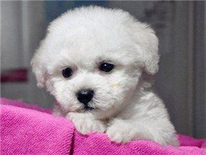 棉花糖大眼睛比熊犬雪白卷毛品相可佳