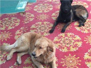 两只宠物狗丢失