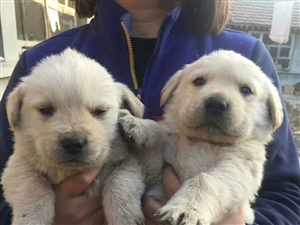 出售拉布拉多幼犬,法斗幼犬,泰迪幼犬!都是自己家养
