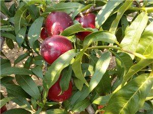 彌河大馬山下20畝桃園轉讓轉包,品種有9602油桃、大老板
