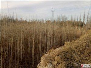 5000棵白杨树苗出售
