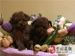 韩系娃娃脸泰迪犬口袋茶杯泰迪熊狗超小体幼犬