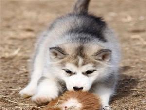 出售纯种哈士奇雪橇犬,三火,蓝眼.血统纯正.健康保