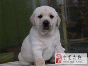 犬舍直销拉布拉多宝宝希望能够找到喜欢他的主人