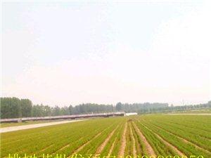 南阳1-5公分桃树苗批发 梨树苗批发 占地桃树苗