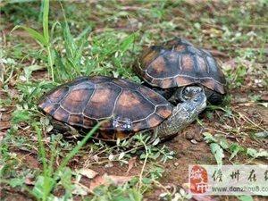 出售食用草龟 花龟 鳄龟 火