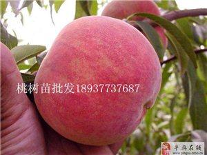 1年桃樹苗批發多少錢,畝種植多少棵桃樹苗 梨樹苗