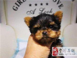 高贵纯种约克夏幼犬可爱出售