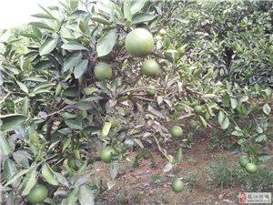 出售澳门太阳城娱乐仙女20亩柑橘示范园+楼房住宅一套