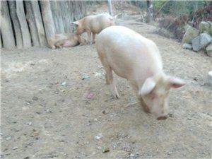 出售自家散养猪儿【没喂饲料,山上放养,猪肉包香】
