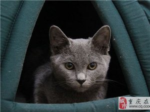 求購一只藍貓