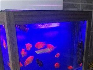 一米二长鱼缸及十五条布谷鱼、卫星地图鱼、银龙鱼盛出卖