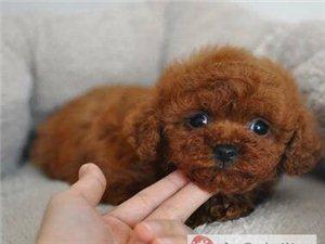 泰迪犬幼犬保证血统纯度可送货上门