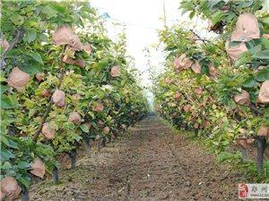 駿中家園—四味營養梨