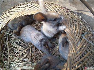 兔子崽崽出售