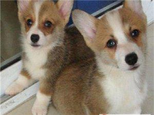 出生2个月零2天的柯基犬2只(1公/1母)