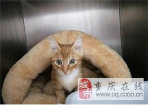 漂亮的小橘貓找領養