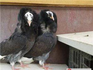 出售一對觀賞鴿 價格優惠 健康