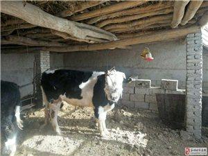本人有三頭牛出售,要的朋友聯系我