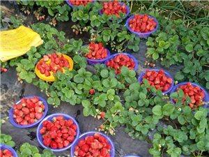 出售河云草莓红颜!普通草莓,送货上门哦!