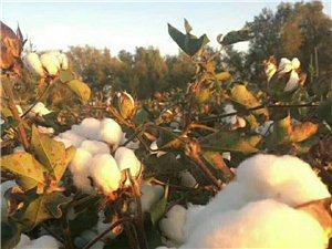 长阳杨先生在新疆开办长绒棉网套加工厂,出售正宗新疆网套!