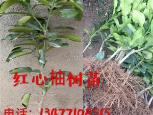 长阳鸭子口刘先生现有大量的红心柚子苗出售