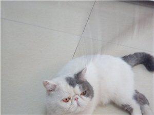 加菲猫种公借配