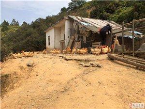 水库放养的家鸡,鸭,鹅