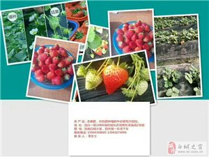 白城草莓采摘園歡迎您