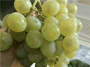 好消息好消息恒溫庫預冷大澤山1號葡萄 品質極佳 現大量出庫