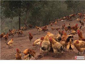 正宗散养粮食土鸡接受预定