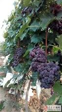 出售家酿葡萄酒