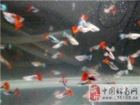 出售孔雀鱼【1元1条 10条以上免费送货上门】
