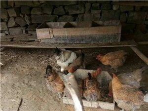 长阳方先生自家养了十几只土母鸡出售一部分