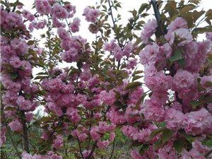 销售樱花、油根子