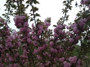 出售苗木——樱花、油根子和柿子树