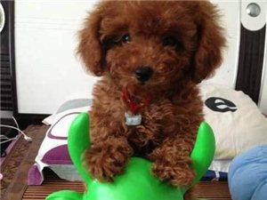 小泰迪狗狗便宜送了!沒地方養,傷心送人