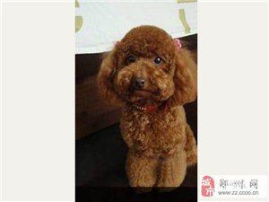 鄭州便宜出售純種泰迪狗寶寶,有愛心的女孩看過來!!