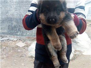 德牧犬.小犬