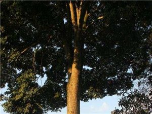 大量金丝楠木树出售