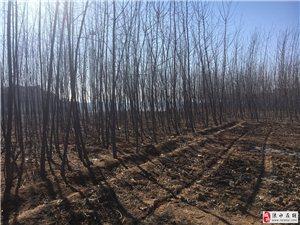 出售涞水县城周边107杨树苗6-8公分和2-3公分