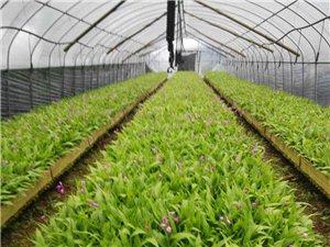 恩施潤農白芨,黃精,重樓中草藥種植